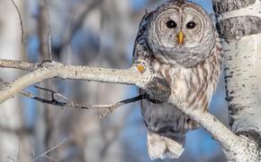 Picture tree, owl, bird, branch, birch, bokeh, A barred owl