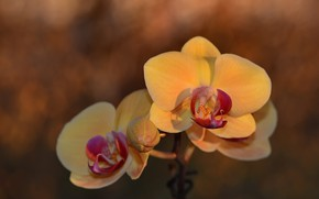 Picture flower, background, Orchid, bokeh, falinopsis, гелиос44м