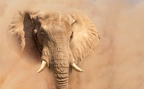 Picture elephant, dust, ears, tusks, trunk