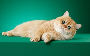 Picture cat, cat, look, pose, green, background, red, muzzle, Studio