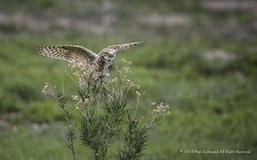 Picture grass, nature, owl, owl