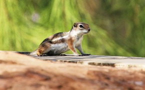 Picture look, light, pose, background, Chipmunk, face, bokeh