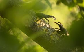 Picture macro, branch, pair, bugs, two, bokeh, rivals, stag beetle, two beetle, beetles deer