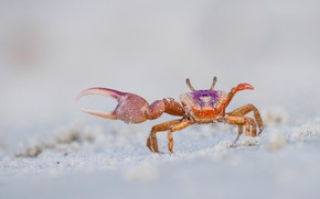 Picture sand, pose, background, shore, crab, light, crab, claws