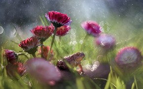 Picture frog, bokeh, Daisy