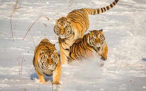 Picture winter, snow, tiger, jump, running, the snow, three, walk, company, tigers, trio, friends
