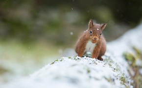 Picture winter, snow, nature, pose, walnut, protein, log, face, snowfall, bokeh, blurred background, rodent