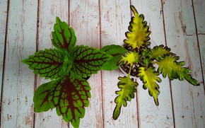 Picture Pair, Leaves, The Coleus