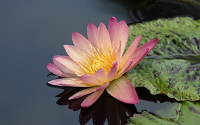 Wallpaper flower, leaves, macro, lake, pond, reflection, background, pink, Lily, petals, water, Nymphaeum, salmon, water Lily