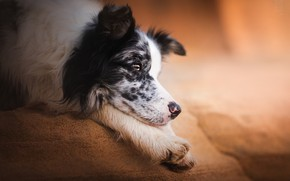 Picture face, stay, dog, paws, The border collie