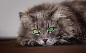 Picture cat, cat, mustache, look, face, grey, background, portrait, paws, floor, lies, grey, green eyes, fluffy, ...