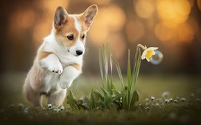 Picture flower, dog, Corgi