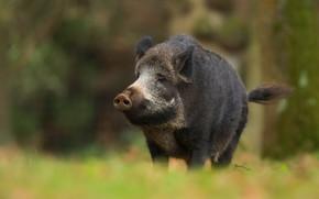 Picture forest, look, face, background, black, pig, boar, ponytail, wildlife, pig, bokeh, hog, Piglet, piggy, pig …