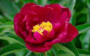 Picture macro, flowering, peony