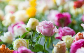 Picture flowers, roses, buds, colorful