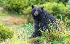 Picture nature, black, bear, sitting, baribal