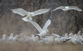 Picture flight, birds, nature, seagulls, wings, pack, white, a lot, a flock of birds