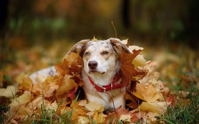 Picture autumn, face, leaves, nature, foliage, portrait, dog, the pile of leaves