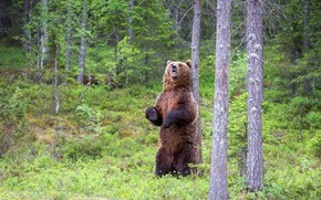 Picture forest, summer, trees, glade, paws, bear, mouth, stand, roar, brown
