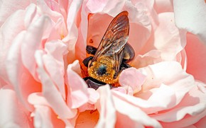 Picture flower, macro, bee, pink, rose, petals