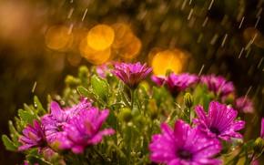 Picture water, drops, flowers, nature, rain, chamomile, bokeh