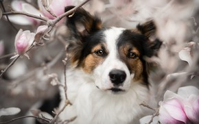 Picture look, face, branches, portrait, dog, flowers, Magnolia