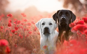 Wallpaper field, dogs, white, summer, look, flowers, mood, glade, black, two, Maki, dog, meadow, dog, pair, ...