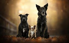 Picture autumn, dogs, leaves, foliage, portrait, trio, friends, bokeh, Chihuahua, Trinity, American Staffordshire Terrier