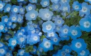Picture flowers, blue, nemophila
