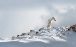 Picture winter, white, snow, nature, horse, horse, the snow, white