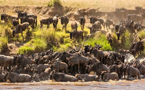 Picture river, Africa, crossing, the herd, Tanzania, wildebeest