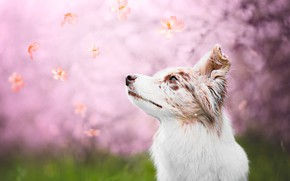 Picture grass, look, face, nature, background, mood, pink, glade, portrait, dog, spring, petals, white, blurred background, …