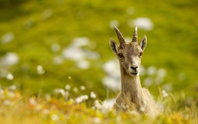 Picture greens, summer, grass, look, face, nature, background, meadow, cub, goat, bokeh, blurred, goat, goat, goat, …