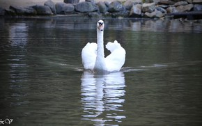 Picture lake, beautiful, Swan