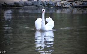 Picture lake, beautiful, Swan