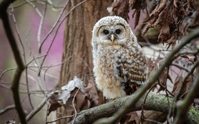 Picture autumn, look, leaves, branches, tree, owl, bird, dry, chick, owlet, owlet, owl