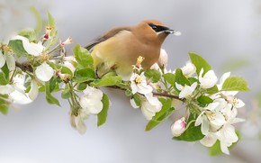 Picture flowers, background, bird, branch, spring, petal, white, Apple, flowering, in bloom, the Waxwing