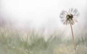 Picture white, flower, grass, dandelion, glade, blur, spring, light background, the parachutes, bokeh