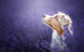 Picture face, flowers, background, portrait, dog, profile, lavender, bokeh, Australian shepherd, Aussie