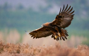 Picture wings, Scotland, eagle, Glenfeshie