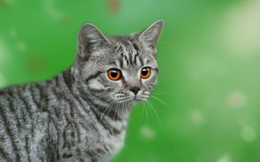 Picture cat, look, background, face