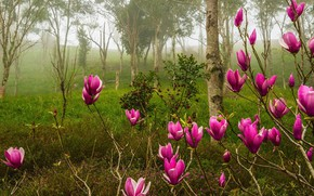 Wallpaper forest, trees, flowers, branches, nature, fog, Park, Bush, spring, pink, flowering, Magnolia
