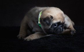 Picture look, pose, the dark background, dog, pile, baby, pug, puppy, lies, fur, collar, Mat, face, …