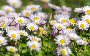 Picture nature, flowering, Daisy