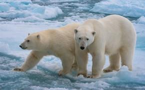 Picture ice, a couple, polar bears, two bears, polagye bears