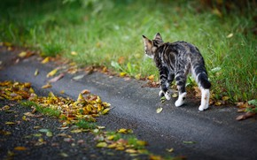 Picture road, autumn, cat, cat, leaves, kitty, walk