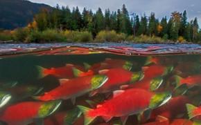 Picture fish, Canada, salmon, British Columbia, river Adams, spawning