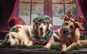 Picture photo, Dogs, New year, Lies, Horns, Animals, Three, Paws, Retriever, Wreath