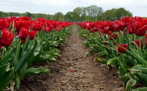 Picture field, flowers, spring, tulips, red, straw, buds, path, the ranks, plantation