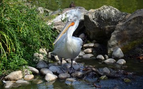 Picture photo, Bird, Stones, Animals, Pelican